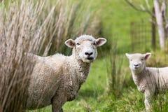 农厂绵羊 库存图片