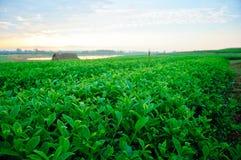 农厂绿茶 库存图片