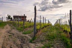 农厂amog巴罗洛葡萄园 葡萄栽培,Langhe,山麓,意大利 免版税库存照片