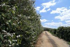 农场在巴西开花了咖啡种植园 库存图片