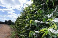农场在巴西开花了咖啡种植园 库存照片