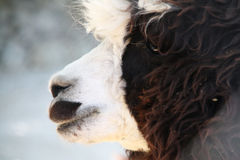 农场的喇嘛 免版税库存照片