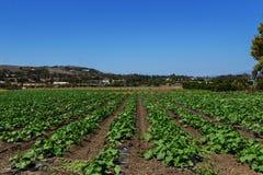 农场的矮生西葫芦植物 免版税库存图片