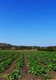 农场的矮生西葫芦植物 库存图片