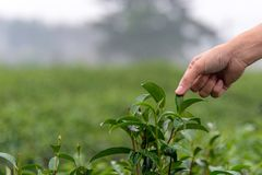 农夫人民在农厂茶园农业的雨以后形成印地安亚洲妇女工作和采摘茶叶 免版税库存照片