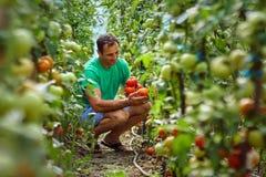 农夫从他的庭院的采摘蕃茄 库存照片