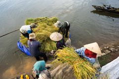 农夫从浮动小船装载被收获的米由运输车决定在湖旁边 免版税图库摄影