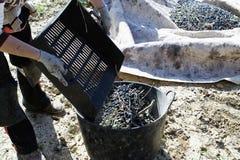 农夫倾销收集的橄榄很多 免版税库存照片