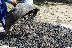 农夫倾销收集的橄榄很多 库存图片