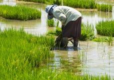 农夫做法水稻在农田里 免版税库存图片