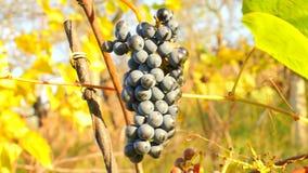 农夫冷冻葡萄树的检查质量在葡萄园里在秋天 藤葡萄在收获前的传统葡萄园里,成熟 影视素材