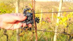 农夫冷冻葡萄树的检查质量在葡萄园里在秋天 藤葡萄在收获前的传统葡萄园里,成熟 股票录像