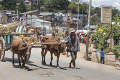农夫和封牛在安齐拉贝,马达加斯加 库存图片