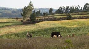 农夫和牛在埃塞俄比亚 免版税图库摄影