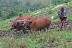 农夫和黄牛在巴厘岛的米领域 免版税库存图片