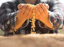农夫在他的手上的以后拿着玉米五谷在牵引车拖车 图库摄影
