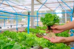 农夫在农场收集绿色水耕的有机沙拉菜, 免版税库存照片
