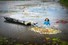 农夫在收获以后清洗百合在洪水季节的沼泽下 图库摄影