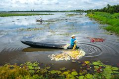 农夫在收获以后清洗百合在洪水季节的沼泽下 免版税库存照片