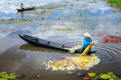 农夫在收获以后清洗百合在洪水季节的沼泽下 免版税库存图片