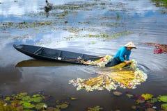 农夫在收获以后清洗百合在洪水季节的沼泽下 库存照片