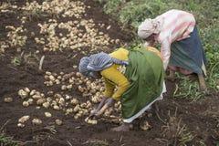 农夫在收获他们的在他们的农业领域的乌塔卡蒙德土豆在乌塔卡蒙德 免版税库存图片