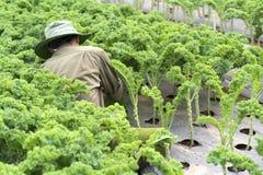 农夫在有机农场收获无头甘蓝在春天早晨 免版税库存照片
