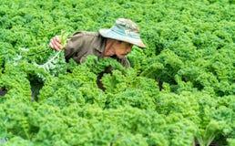 农夫在有机农场收获无头甘蓝在春天早晨 免版税库存图片