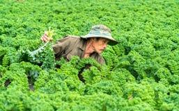 农夫在有机农场收获无头甘蓝在春天早晨 图库摄影