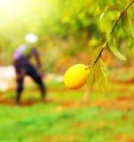农夫在柠檬庭院里 免版税库存图片
