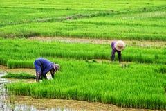 农夫在米领域的植物米 免版税图库摄影