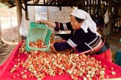 农夫在草莓种植园工作 免版税库存图片