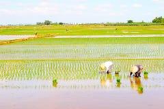 农夫在领域的被种植的米 免版税库存图片