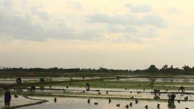 农夫在领域的被种植的米 股票视频