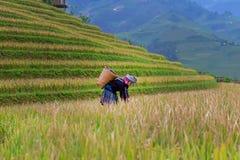 农夫妇女收获米农业产业 在收获季节的露台的米领域与领域米的少数族裔妇女 免版税库存图片
