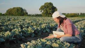 农夫审查年轻圆白菜叶子  影视素材