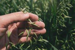 农夫审查的燕麦在领域,关闭播种手 库存照片