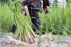 农夫干净的幼木 免版税库存图片