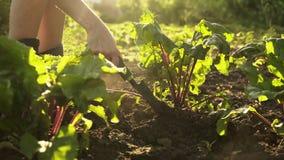 农夫开掘并且松开与一把铁锹的地面在有机农场的领域日落光的 股票录像