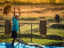 农夫打谷在收割期的米五谷 图库摄影