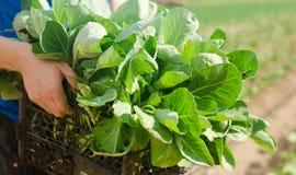 农夫拿着圆白菜幼木准备好种植在领域 种田,农业,菜,工农业 库存照片