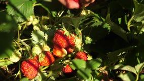 农夫收获一个成熟莓果 花匠的手在夏天显示草莓在庭院里 男性手显示红色 影视素材