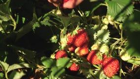 农夫收获一个成熟莓果 花匠的手在夏天显示草莓在庭院里 男性手显示红色 股票录像