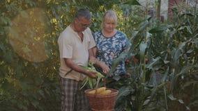 农夫收获在他们的农场的玉米,攫取果壳摇摆物并且折叠他们入篮子 一个人和妇女帮助 股票视频