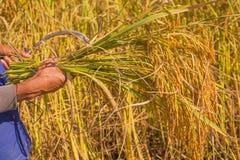 农夫收获在泰国 免版税库存照片
