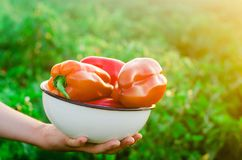 农夫收获在领域的胡椒 新鲜的健康有机菜 农业 库存照片