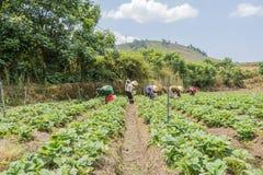 农夫收获在领域的草莓 免版税库存图片