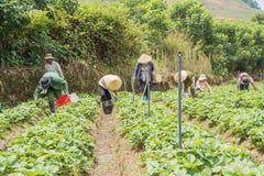农夫收获在领域的草莓 图库摄影