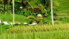 农夫收获在稻田的米 免版税库存图片