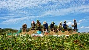 农夫收获花生。BINH THUAN,越南2月3日 图库摄影
